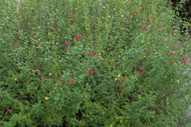 Salvia microphylla 6