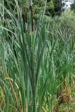 Typha larifolia 2