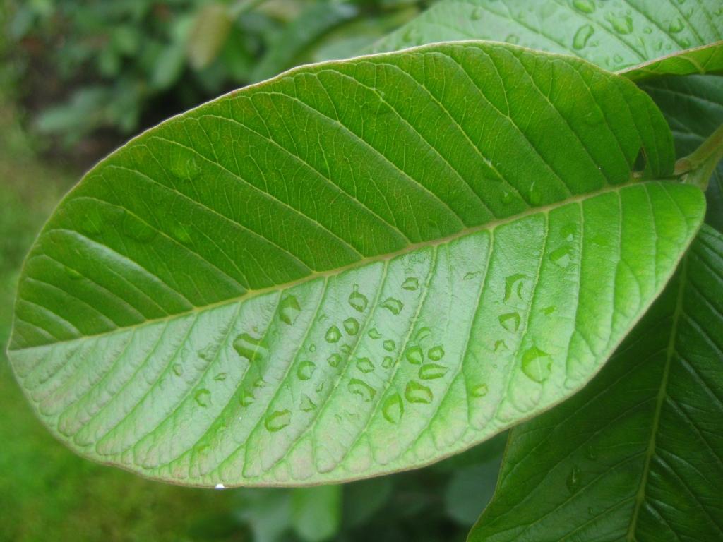 002 guayabita del pinar asociaci n de amigos jard n bot nico for Asociacion pinar jardin