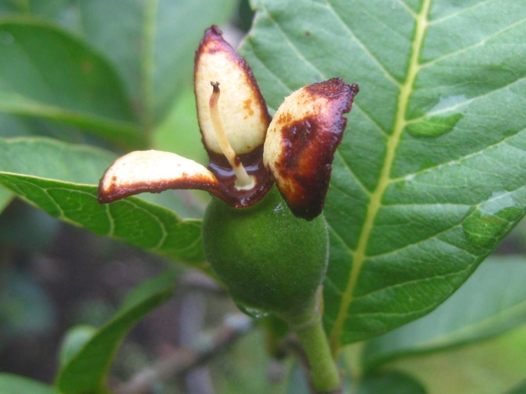 004 guayabita del pinar asociaci n de amigos jard n bot nico for Asociacion pinar jardin