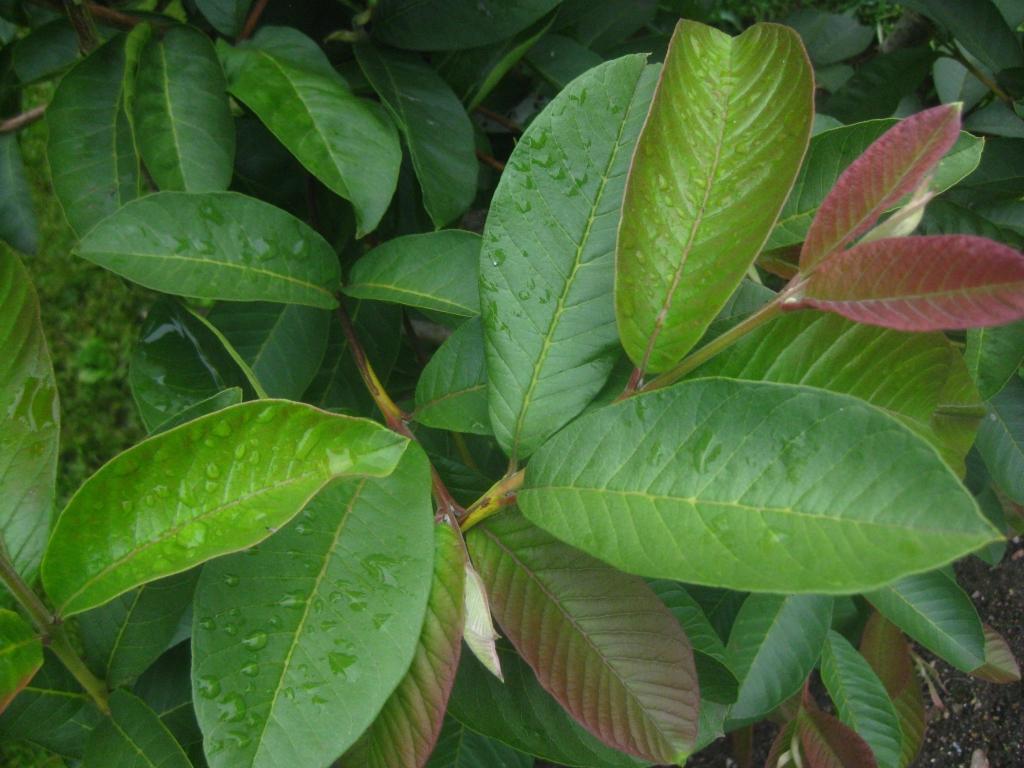 005 guayabita del pinar asociaci n de amigos jard n bot nico for Asociacion pinar jardin
