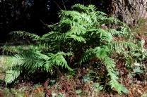 Polypodium vulgare_8035