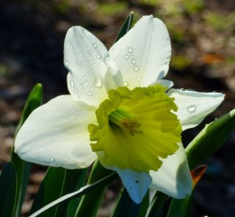 Narcissus 'Ice Follies' (3)