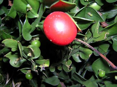 Ruscus aculeatus 8