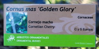 Cornus mas (7)