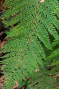 Dryopteris filix mas (4)