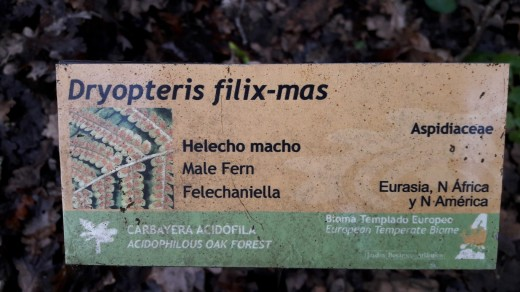 Dryopteris filix mas (5)