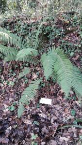 Dryopteris filix mas (6)