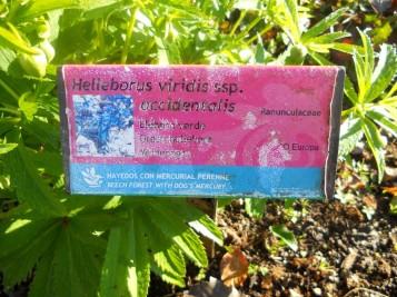 Helleborus viridis (1)