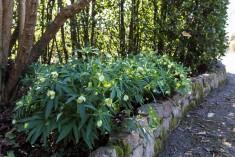 Helleborus viridis (6)