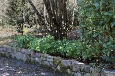 Helleborus viridis (8)