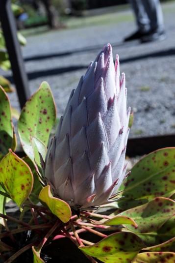 Protea cynaroides King Pink.1