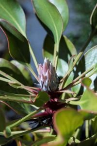 Protea cynaroides King Pink