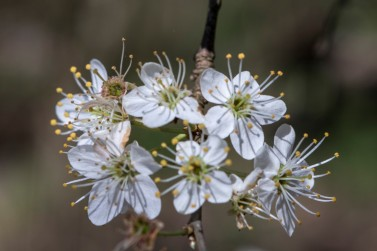 Prunus spinosa.1