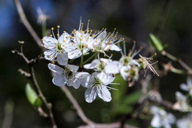 Prunus spinosa.2
