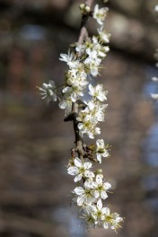 Prunus spinosa.5