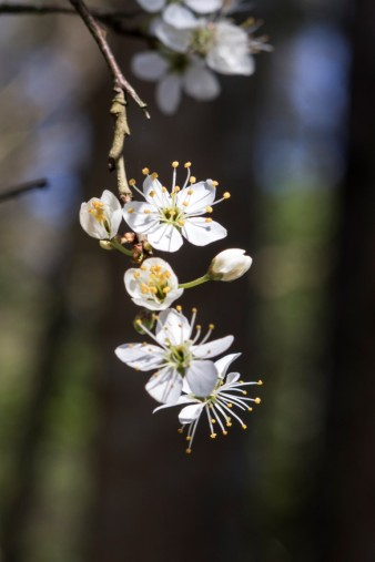 Prunus spinosa.