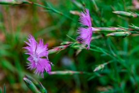 Dianthus hyssopifolius (5)