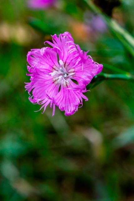Dianthus hyssopifolius (6)