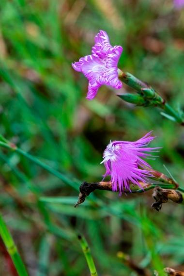 Dianthus hyssopifolius (8)