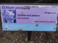 Echium pininana (1)