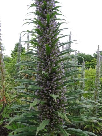 Echium pininana (10)