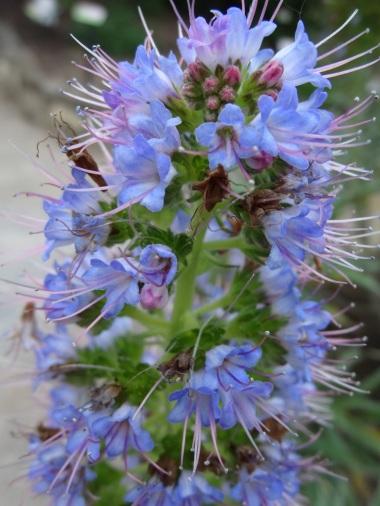 Echium pininana (7)