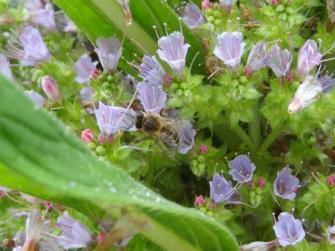 Echium pininana (8)