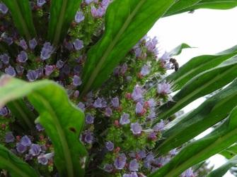 Echium pininana (9)