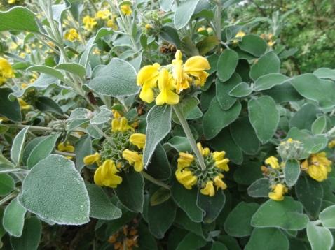 Phlomis fruticosa (11)