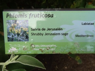 Phlomis fruticosa (13)
