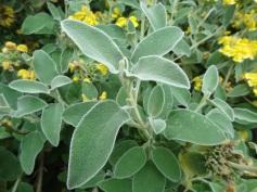 Phlomis fruticosa (9)