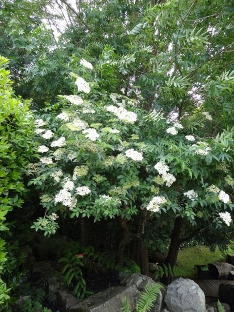 Sambucus nigra (10)