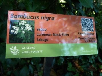 Sambucus nigra (2)