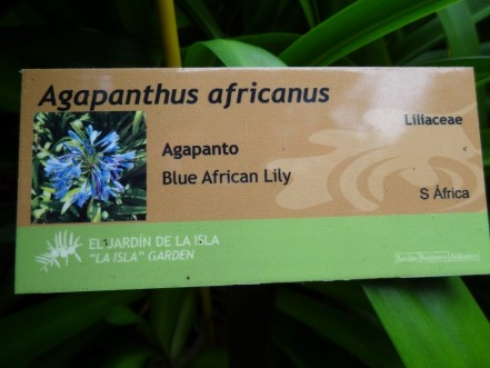 Agapanthus africanus-01