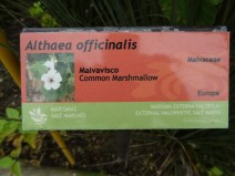 Althaea officinalis_01