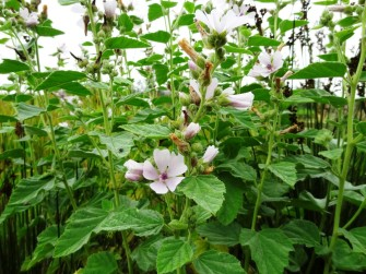 Althaea officinalis_06