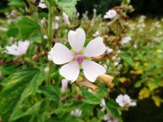Althaea officinalis_09