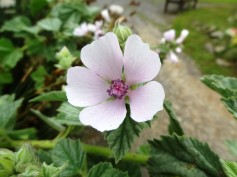Althaea officinalis_10