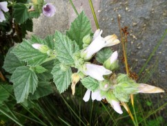 Althaea officinalis_11