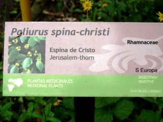 Paliurus spina-christi_01