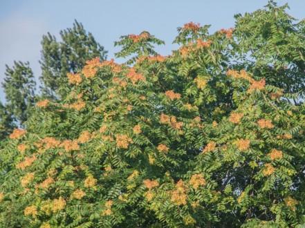 Ailanthus altissima (1)