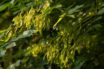 Ailanthus altissima (11)