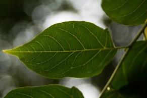 Ailanthus altissima (13)