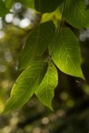 Ailanthus altissima (14)