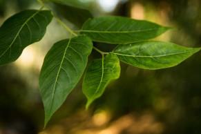 Ailanthus altissima (15)