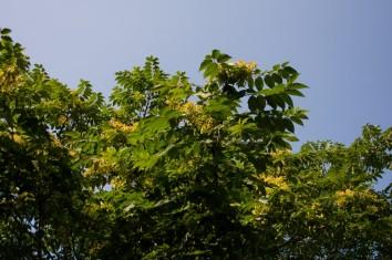 Ailanthus altissima (16)