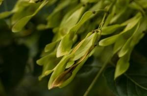 Ailanthus altissima (17)