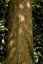 Ailanthus altissima (19)