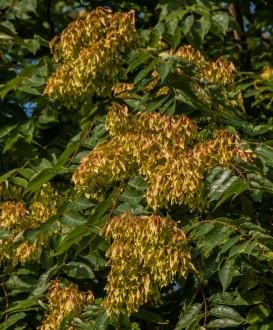 Ailanthus altissima (2)